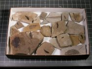 Educational Plant Fossil Lot